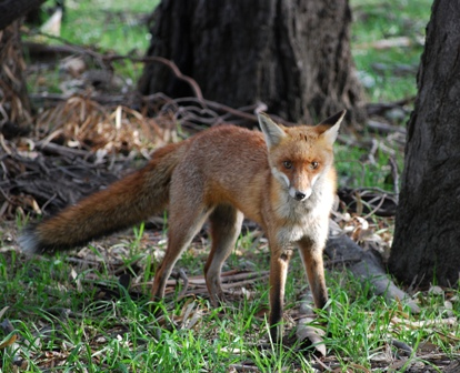 Red Fox. Photo: Jim Castles