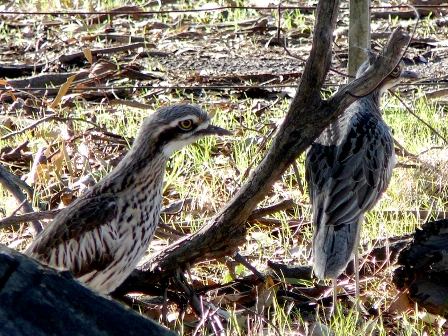 A pair of Bush Stone-curlew